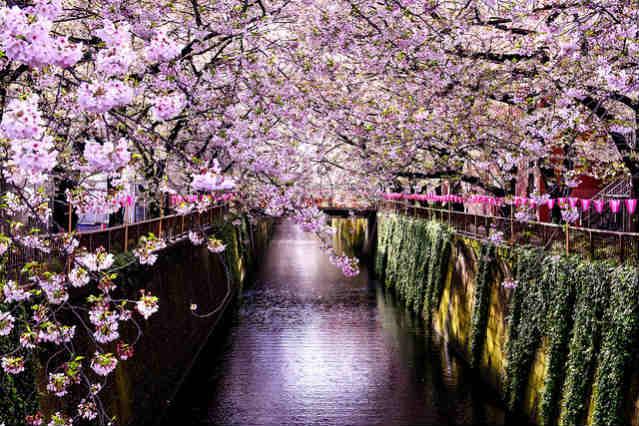 Cerejeiras no Rio Meguro, Tóquio | Foto: Toshihiro Gamo, via Flickr