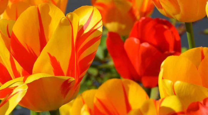 Bolsas para estudar na Holanda - Orange Tulip Scholarship   Foto: Pixabay, CCO license